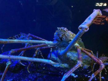沼津の深海水族館 タカアシガニ